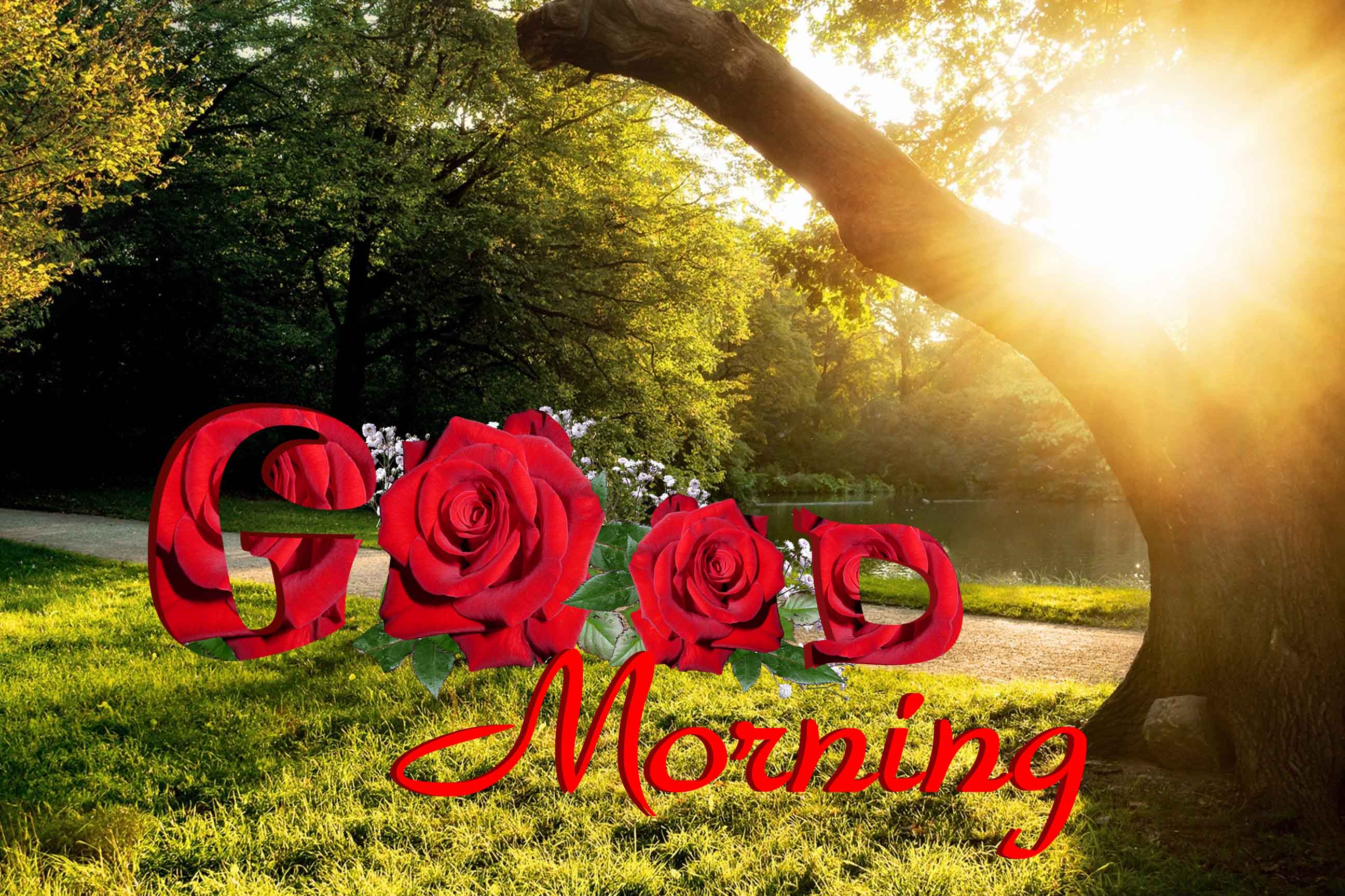 beautiful good morning rose